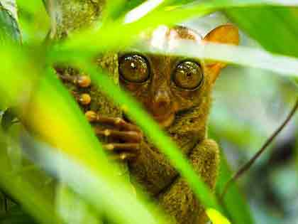 The Tarsier, a small primate found in the Philippines
